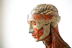 Grunge human anatomy. Cloed up of grunge human anatomy royalty free stock images