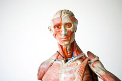 Grunge human anatomy Royalty Free Stock Images