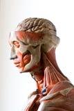 Grunge human anatomy Stock Photography