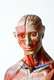 Grunge human anatomy Royalty Free Stock Photography