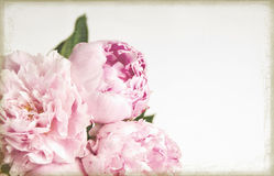 Grunge image of pink peony flowers. Grunge and old fashioned image of pink peony flowers Royalty Free Stock Images