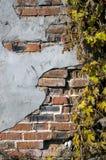 Grunge ivy brickwall Stock Photo