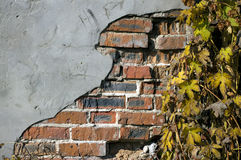 Grunge ivy brickwall Royalty Free Stock Photos