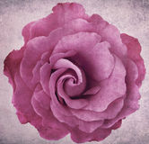 Grunge Lavendel Rose Stockfotografie