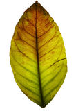 Grunge leaf, isolated Royalty Free Stock Photo