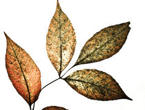 Grunge leaves Royalty Free Stock Image