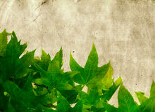 Grunge maple leaves Stock Photos