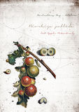 Grunge Oak Apples Royalty Free Stock Photography