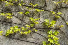 Grunge old stone wall with green creeper plant ivy as background Stock Photo