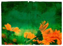 Grunge orange daisy. Flowers on green paper texture background Royalty Free Stock Images