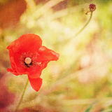 Grunge paper background , bright red poppy Stock Photography