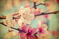 Grunge peach flowers. Grunge pink peach flowers close up in a garden Stock Photography