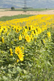 Grunge photo of blooming sunflower field Royalty Free Stock Photos