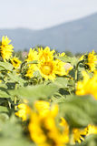 Grunge photo of blooming sunflower field Royalty Free Stock Photo
