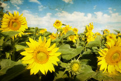 Grunge photo of blooming sunflower field Stock Image