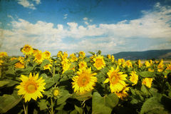Grunge photo of blooming sunflower field Stock Photo