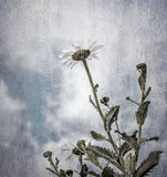 Grunge photo of daisy flowers Royalty Free Stock Image