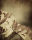 Grunge photo of daisy flowers Stock Images
