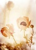 Grunge photo of poppy flowers Royalty Free Stock Photo