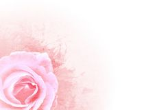 Grunge pink background. With rose Royalty Free Stock Image