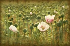 Grunge poppies Royalty Free Stock Images