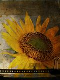 Grunge postcard with sunflower Royalty Free Stock Photography