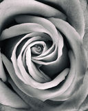 Grunge processed rose close up Stock Images