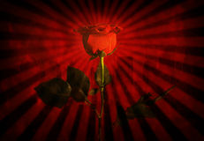 Grunge red rose Royalty Free Stock Photo