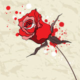 Grunge red rose on Crumpled paper background. Royalty Free Stock Images