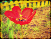 Grunge Red Tulip Stock Image