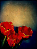 Grunge Red Tulips Stock Photo