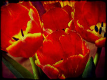 Grunge Red Tulips Stock Image