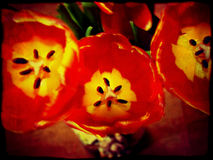 Grunge Red Tulips Royalty Free Stock Photo