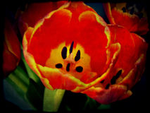 Grunge Red Tulips Stock Photos