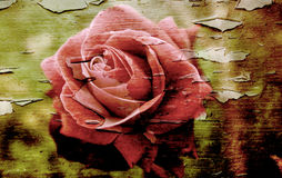 Grunge rose. Old photo of a rose on a peeling grunge textured background Stock Photos