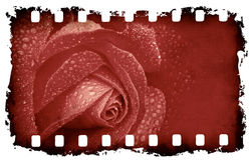 Grunge rose background. On old film strip Royalty Free Stock Photo
