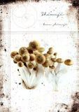 Grunge Shimeji Mushrooms Royalty Free Stock Photography