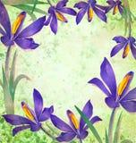 Grunge spring flower crocus frame Stock Photo