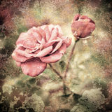 Grunge texture with floral background in vintage style. Romantic. Pink roses flowers with water drops royalty free stock photo