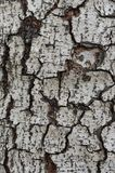 Grunge Texture of Tree Peel. Grunge texture of tree peel for natural background Royalty Free Stock Photo