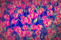 Grunge tulips field. Tulips field red flower grunge background Royalty Free Stock Photo