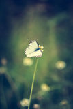 Grunge Vignette Small butterfly. Small butterfly On the grass with Grunge Vignette royalty free stock photography