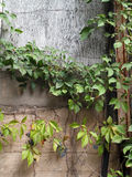 Grunge Wall with an Urban Vine Stock Photo