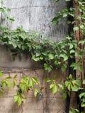 Grunge Wall with an Urban Vine Stock Photo