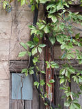 Grunge Wall With an Urban Vine Stock Images