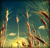 Grunge Wheat field background Stock Images