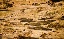 Grunge wood with fungus, mold and holes Royalty Free Stock Photography