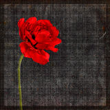 Grungy background with a tulip. Grungy background with a big red tulip Stock Photo