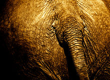Grungy behind of an elephant Stock Image