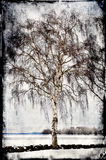 Grungy birch tree Stock Photography